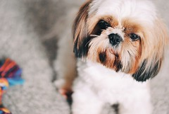 . (-LilyBeth) Tags: dog doglovers shihtzu 50mm nikon bokeh dof depthoffield d3000 shihtzus cane animals pets