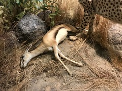 #CaliforniaAcademyofSciences (Σταύρος) Tags: deadcalf deadantelope deadfaun deadanimal freshkill goldengatepark californiaacademyofsciences researchinstitute naturalhistorymuseum sanfrancisco planetarium aquarium sf city sfist thecity санфранциско sãofrancisco saofrancisco サンフランシスコ 샌프란시스코 聖弗朗西斯科 سانفرانسيسكو iminyuziyamu amgueddfa museo музей museu 박물관 博物館 músaem halehōʻikeʻike μουσείο musée muzej թանգարան متحف kalifornien californië kalifornia καλιφόρνια カリフォルニア州 캘리포니아 주 cali californie california northerncalifornia カリフォルニア 加州 калифорния แคลิฟอร์เนีย norcal كاليفورنيا