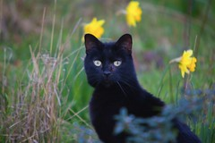 Black Cat early Spring.. (Adam Swaine) Tags: cats pets animals eastdulwich spring flowers daffodils london gardens england english britain british uk seasons canon