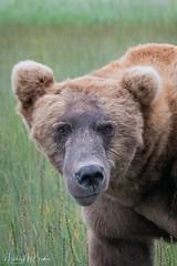 _HB30056 (Hilary Bralove) Tags: lakeclarknationalparkbrownbearsbearsalaskanikonwildlifegrizzlygrizzlybearbrownbearanimalswildlifephotographer alaksa brownbears grizzlybears bear bears grizzly brownbeargrizzly bearlake clarkwildlifealaska wildlifenikonlake clark national park