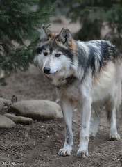 G08A4500.jpg (Mark Dumont) Tags: mexican wolf zoo mark dumont mammal cincinnati
