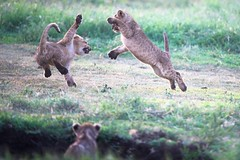 Watching the Action from the Fox Hole (Kitty Kono) Tags: lioncubs ngorongorocrater kittyrileykono tanzania play