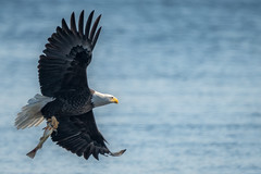 EagleWithFish (jmishefske) Tags: mature wisconsin bald fish nikon necedah dam bird d500 flying petenwell february catching eagle bif 2019