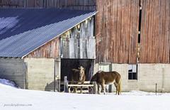 Enjoying a rare moment of sunshine (Petoskey Drones) Tags: animal horses barn snow winter sun