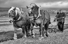 Working Horses (manxmaid2000) Tags: horses ploughing monochrome farm plough agriculture soil horse plow land farmland grass field isleofman manx iom farming horsedrawn cultivate man pair vintage tradition traditional rural heritage history fuji country work pull
