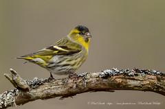 Male Siskin (www.facebook.com/PaulSmithWildlife) Tags: wildlife nature bird scotland cairngorms winter springwatch