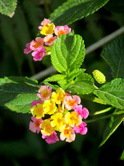 Lantana (M.P.N.texan) Tags: shrub flower flowers flowering bloom blooms blooming garden texas lantana