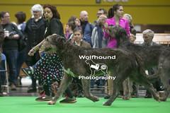 img_9999_561 (HoundPhotographer) Tags: irishwolfhound wolfhound hound crufts crufts2019 showdog dogshow