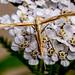 45.008 - Gillmeria pallidactyla