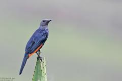 Red-winged Starling, Onychognathus morio (Kevin B Agar) Tags: birds onychognathusmorio redwingedstarling southafrica