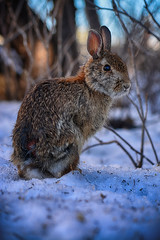 Brave little Bunny (flashfix) Tags: march182019 2019inphotos flashfix flashfixphotography ottawa ontario canada nikond7100 55mm300mm hare snow winter branches rabbit animal rodent nature wildlife mothernature lines bokeh portrait ears fur whiskers