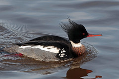 red breasted merganser (DODO 1959) Tags: wildlife redbreastedmerganser avian birds male fauna duck drake animal outdoor nature water wales carmarthenshire kidwellyquay canon 500mmf4isllens 1dmk4