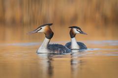 Podiceps cristatus (pawelszymura) Tags: odiceps cristatus nature bird photography paweł szymura water lake great grebe perkoz dwuczuby wood nikon d500 200500