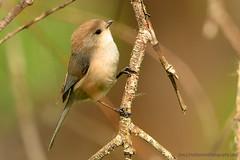 American_Bushtit_04 (DonBantumPhotography.com) Tags: wildlife nature birds animals americanbushtit donbantumphotographycom donbantumcom