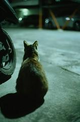 貓貓 (LS 's film world) Tags: leica m3 voigtlander nokton 40mm f14 fujifilm rxp 400 cat