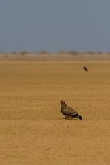Steppe Eagle (iamfisheye) Tags: 300mm naturetrek d500 xqd february greatrannofkutch vr bannigrasslands f4 india steppeeagle afs tc14iii 2019 nikon pf raremammalsandbirdsofgujarat gujarat