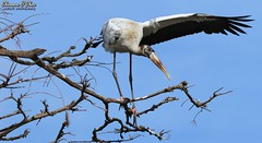 """A bird sitting on a tree is never afraid of the branch breaking, because her trust is not on the branch but on its own wings."" (Shannon Rose O'Shea) Tags: shannonroseoshea shannonosheawildlifephotography shannonoshea shannon woodstork bird beak feathers wings bluesky mycteriaamericana branch branches tree trees nature wildlife wadingbird alligatorbreedingmarshandwadingbirdrookery gatorland orlando florida gatorlandbirdrookery rookery flickr wwwflickrcomphotosshannonroseoshea smugmug outdoors outdoor outside skinnylegs birdyfeet longtoes colorful colourful wild wildlifephotography wildlifephotographer wildlifephotograph camera femalephotographer girlphotographer womanphotographer shootlikeagirl shootwithacamera throughherlens canon canoneos80d canon80d canon100400mm14556lisiiusm eos80d eos 80d canon80d100400mmusmii art photo photography photograph closeup close waterfowl"