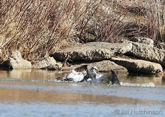 March 25, 2019 - An osprey emerges from the water of a Boulder County pond. (Bill Hutchinson)