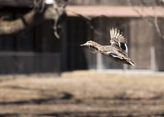 "Fem Mallard in flight 5 • <a style=""font-size:0.8em;"" href=""http://www.flickr.com/photos/30765416@N06/47482657011/"" target=""_blank"">View on Flickr</a>"