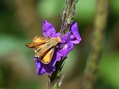 Butterfly (anacm.silva) Tags: borboleta butterfly insect insecto wild wildlife nature natureza naturaleza cataratadeltoro costarica
