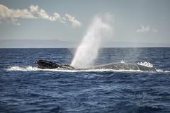 Humpback Whale ~  Humpback Koholā (Freshairphotography by Janis Morrison) Tags: humpbackwhale~humpbackkoholā humpback humpbackwhale humpbackkoholā whale maui mauihawaii ilovemaui hawaii sealife seacreature marinemammal mammal amazing pacificocean ocean oceanlife