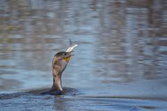 DOWN THE HATCH (Lisa Plymell) Tags: lisaplymell nikon bird cormorant sigma150600