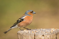 untitled-2036.jpg (Parapan) Tags: sigma canon chaffinch bird newforest birds nature