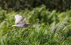 2-squaccoheron-3944 (h.redpoll) Tags: mabambakamengowetlands squaccoheron uganda