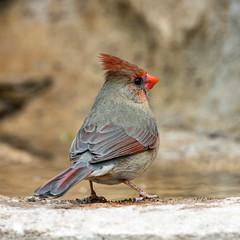 Northern Cardinal (Ed Sivon) Tags: america canon nature wildlife wild western southwest flickr bird texas water red