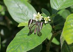 Vacances_0880 (Joanbrebo) Tags: mainau konstanz badenwürttemberg de deutschland canoneos80d eosd autofocus papallona papillon butterfly mariposa farfalle