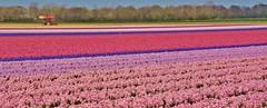 Hyacinths, close to the dunes of Egmond (henkmulder887) Tags: hyacinth hyacint egmondbinnen egmond noordholland holland flowers tulip thenetherlands lente voorjaar geestgronden bollenvelden keukenhof april 2019 hopman fahopmanzn bollenkweker