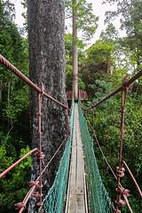 Canopy walk, Bukit Gemok, Tawau. (Andy @ Pang Ket Vui ( shootx2 )) Tags: fujifilm x100f bukit gemok canopy walk tawau borneo landscape forest bridge green nature