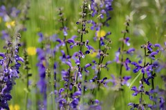 Beautiful days (memories-in-motion) Tags: blue yellow green pure nature slo beautiful days 2018 meadow flowers wiesensalbei