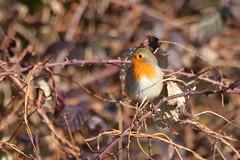 Hidden in a bush (ryorii) Tags: robin pettirosso bush cespuglio rovi hidden nascosto winter inverno bird birds uccello uccelli uccellino
