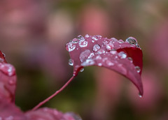 Wet Oregon. (Omygodtom) Tags: water raindrop waterdrops red leaves weather tamron90mm tamron macro bokeh dof d7100 senery scene setting flora coth5 outside