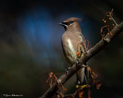 waxw1 (lfalterbauer) Tags: cedarwaxwing bombycillacedrorum nature wildlife peacevalleypark newbritain canon7dmarkii lens camera dslr digital avian ornithology outdoor
