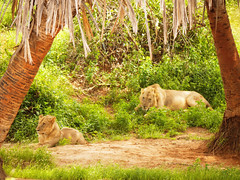 And don't forget about Tsavo maneless lions (igor29768) Tags: maneless lion lions tsavo africa kenya panasonic lumix 100300mm