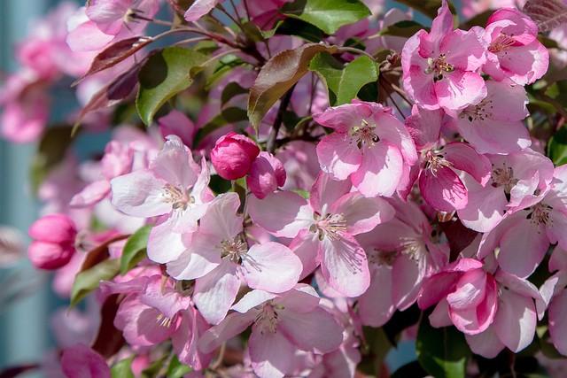 Обои дерево, розовый, весна, цветение картинки на рабочий стол, раздел цветы - скачать