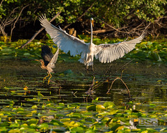 Get Off My Lawn!-8149.jpg (bryanstewartcreative) Tags: bryanstewartcreative egret greategret heron herons greenheron territory goaway perch leader bigger big white green early morning earlymorning light dynamic directional busy animals birds bird birdsofflight waterbirds contrast nikon nikond750 d750 nature wildlife birding naturephotography wildlifephotography birdingphotography birdphotography wingspan wings branch tree stump michigan swamp pond lake marsh lilypads woods southeastmichigan metrodetroit detroit puremichigan naturalmichigan naturelovers thegreatlakesstate michiganders puremichiganders michiganbirds michiganawesome awesomemiteen