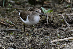 Common sandpiper 2018-07-29_03 (Jan Thomas Landgren) Tags: tringa tringavadare waders wader shorebird shorebirds vadare getterön getterönnaturereserve birds bird wildlife wetland wetlands nature natur nikon nikond500 tamron tamron150600mm outdoor outdoors fåglar fågel fauna aves animal animals avifauna halland sweden sverige actitishypoleucos commonsandpiper drillsnäppa sandpiper