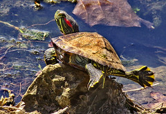 BALANCING ACT (postman325111) Tags: turtle turtleonarock sun reptile reptiles balance balancingact water nature
