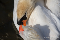 Mute Swan (Ashley Middleton Photography) Tags: lechladeonthames riverthames animal bird england europe muteswan river swan unitedkingdom wiltshire gloucestershire