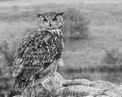 The eyes have it (David Feuerhelm) Tags: eyes monochrome blackandwhite mono bw noiretblanc schwarzundweiss blancoynegro collourpopping owl feathers dof bokeh nikon d750 70300mmf4556