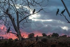 Lagunas de Ruidera (Tom Neumann) Tags: cormoran aves pajaros atardecer lagunasderuidera sonya7m2 apsc ilce7m2 sony naturaleza nubes clouds nature sunset birds cormorants sky trees animals