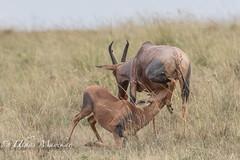 Topi Antelope feeding baby (mayekarulhas) Tags: narok riftvalleyprovince kenya ke topi antilope wildlife wild canon canon500mm canon1dxmark2 herbivore