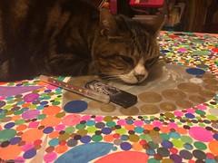 lili-art-plastique© (alexandrarougeron) Tags: photo alexandra rougeron chat chatte bébé poilue animal sauvage felin chou beauté flickr lili loulou poupouce