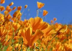 Wild California Poppies (Bennilover) Tags: superbloom poppy poppies californiapoppies march 2019 wildflowers wildflower california lakeelsinore flowerhills californiastateflower hills orange ant