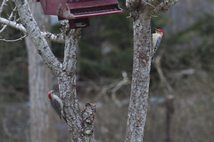 Red-Bellied Pair (Mrs. and Mr.) (brucetopher) Tags: red head woodpecker belly redbelly redhead headed bird birds birding birdwatching climb eat