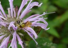 Bergamot Surprise (jmunt) Tags: wildflower bugs ambushbugs bergamot