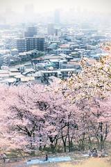 Hanami in Okayama (DanÅke Carlsson) Tags: japan japanese sakura hanami okayama people sitting pink cherry blossom spring